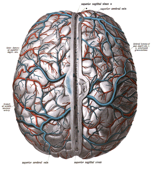 Superior cerebral veins - Various cerebral veins visible.