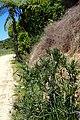 Solanum aviculare kz3.jpg