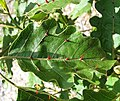 Solanum incompletum (4933765772).jpg