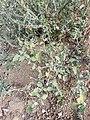 Solanum villosum subsp. alatum sl57.jpg