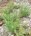 Solidago velutina ssp sparsiflora 1.jpg