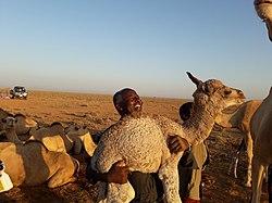 Un becerro de camello en el distrito de Xudun