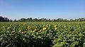 Sonnenblumenfeld in Deszk.jpg