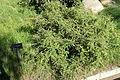 Sophora toromiro - Jardín Botánico de Barcelona - Barcelona, Spain - DSC09285.JPG