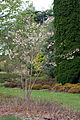 Sorbus Pseudovilmorinii (2967015216).jpg