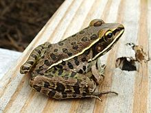 Southern Leopard Frog, Missouri Ozarks.JPG