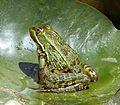Southern Leopard Frog (Rana sphenocephala) - Flickr - gailhampshire.jpg