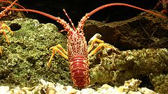 Southern rock lobster, Jasus edwardsii.JPG