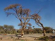 Souwé acacia