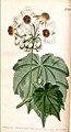 Sparmannia africana00.jpg