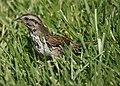 Sparrow (13524063384).jpg