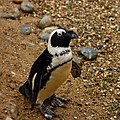Spheniscus demersus -Banham Zoo, Norfolk, England-8a.jpg