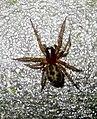 Spider (FG) (5856580907).jpg