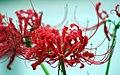 Spiderlily (249525767).jpg