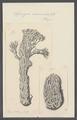 Spongia cuniculosa - - Print - Iconographia Zoologica - Special Collections University of Amsterdam - UBAINV0274 112 02 0008.tif