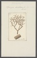 Spongia dichotoma - - Print - Iconographia Zoologica - Special Collections University of Amsterdam - UBAINV0274 112 05 0013.tif