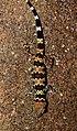 Spotted Leaf-toed Gecko Hemidactylus maculatus by Dr. Raju Kasambe DSCN8001 (10).jpg