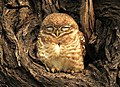 Spotted Owlet Athene brama by Dr. Raju Kasambe DSCN2667 (8).jpg