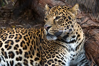 Houston Zoo - Image: Spotted leopard