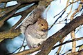 Squirrel (4201133784).jpg