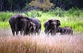 Sri Lanka Elephants.JPG