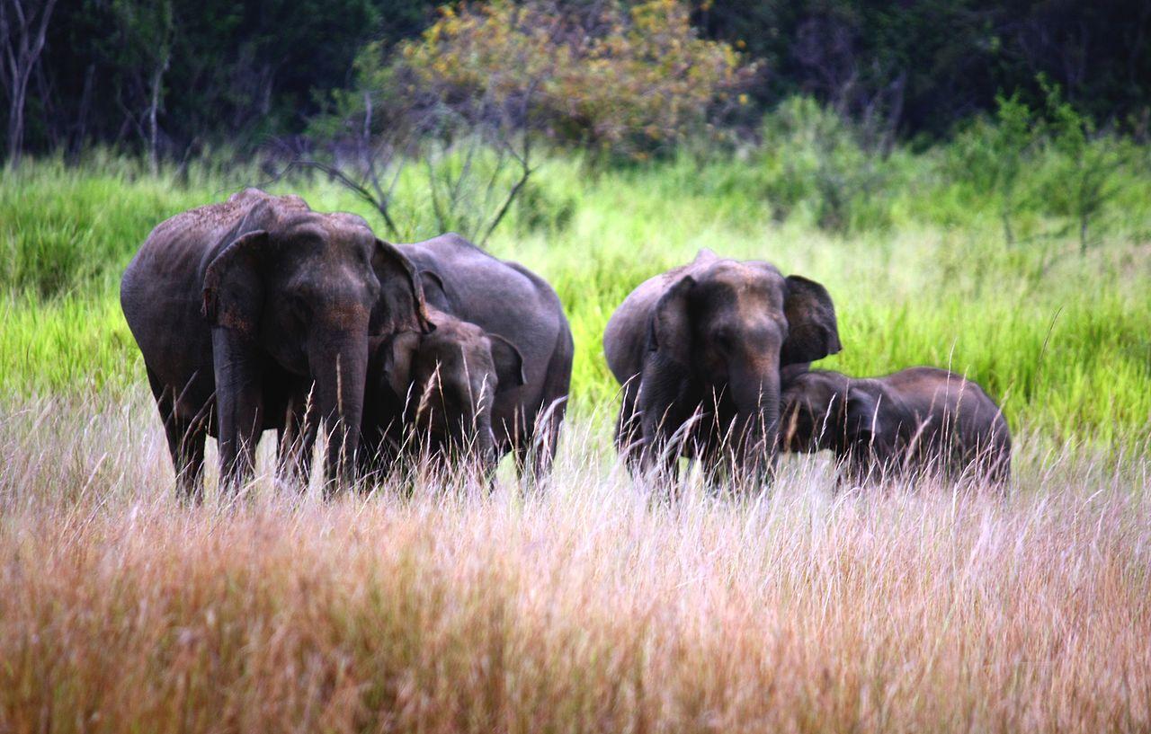 Gajah Sri Lanka adalah salah satu dari tiga subspesies gajah Asia yang diakui.