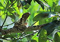 Srilankhan Frogmouth baby.JPG