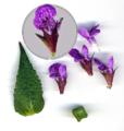 Stachys palustris - close up.png
