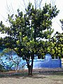 Starr-011104-0009-Calophyllum inophyllum-habit-Kalepolepo-Maui (23915010924).jpg