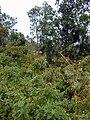 Starr-011205-0069-Tibouchina urvilleana-habit-Hwy11-Hawaii (24543852555).jpg