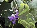Starr-021012-0066-Pueraria montana var lobata-flowers-Wailua-Maui (24470658621).jpg