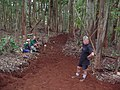 Starr-041214-1487-Eucalyptus sp-trail building-Makawao Forest Reserve-Maui (24353201829).jpg