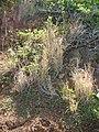 Starr-050419-6481-Heteropogon contortus-habit-Mokolii-Oahu (24652636431).jpg