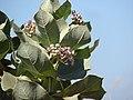 Starr-090604-8930-Calotropis procera-flowers and leaves-Puunene-Maui (24331780534).jpg