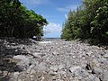 Starr-090623-1674-Terminalia catappa-habit along stream near ocean-Hana-Maui (24340273413).jpg