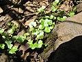 Starr-090702-2022-Hydrocotyle sibthorpioides-habit-Chings Pond Hana Hwy-Maui (24337735144).jpg