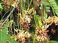 Starr-090720-2975-Tamarindus indica-flowers and leaves-Waiehu-Maui (24852011382).jpg