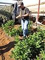 Starr-091023-8513-Solanum muricatum-Dave picking fruit-Kula Experiment Station-Maui (24619150759).jpg