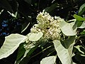 Starr-091104-0800-Aleurites moluccana-flowers and leaves-Kahanu Gardens NTBG Kaeleku Hana-Maui (24987621665).jpg