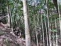 Starr-091115-1188-Aleurites moluccana-thick grove-Olinda-Maui (24359415574).jpg