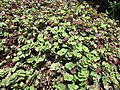 Starr-100623-7776-Callisia repens-potted plants in shade house-Pukalani Plant Company Pulehu-Maui (24949023581).jpg