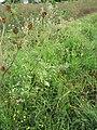 Starr-110503-5482-Parthenium hysterophorus-flowering habit-Kula-Maui (25068499706).jpg