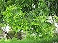 Starr-110601-6046-Carya illinoinensis-leaves-Keokea-Maui (25003308401).jpg