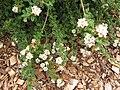 Starr-110621-6289-Lippia micromera-flowers-Hawea Pl Olinda-Maui (24729653849).jpg