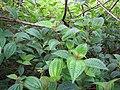 Starr-110924-9408-Clidemia hirta-habit-Makamakaole-Maui (24818994890).jpg