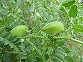 Starr-120415-4651-Cicer arietinum-seedpods-Hawea Pl Olinda-Maui (24508755674).jpg