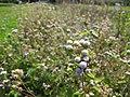 Starr-130322-3789-Ageratum houstonianum-flowers and seedheads-Hanalei NWR-Kauai (24582876153).jpg