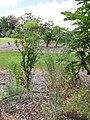 Starr-130504-4389-Anethum graveolens-flowering habit-Hawea Pl Olinda-Maui (25184304036).jpg