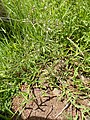 Starr-140909-1797-Cyanthillium cinereum-habit-Wailua-Maui (24950334050).jpg