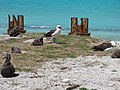 Starr-150328-0919-Coronopus didymus-Black Footed and Laysan Albatrosses and rusty riprap-Northeast Coast Eastern Island-Midway Atoll (24638827454).jpg